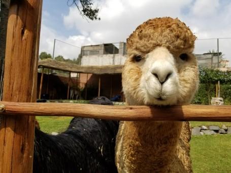 "A hungry alpaca says ""hello"""